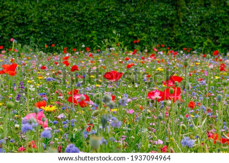 Wild summer flowers field. Multicolored flowering summer meadow with red pink poppy flowers, blue cornflowers. Summer landscape background with beautiful flowers. Environmental German project  Stockfoto ©