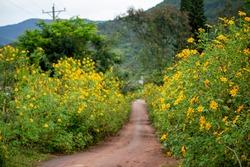 Wild sunflower fields in autumn at Dalat city, Lam Dong province, Vietnam
