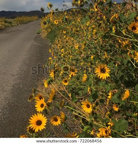 Wild Sunflowers #722068456