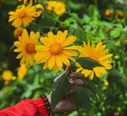 Wild sunflowers (Da Quy) blooming at the forest in Dalat, Vietnam.