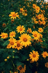 Wild sunflowers season for Dalat travel, Vietnam, beautiful yellow flower background on road, Da quy flower also name Mexico sunflower