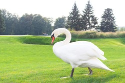 Wild swan walking in the park