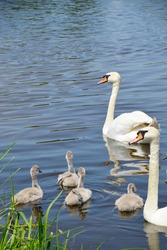 Wild swans swim in a pond with ducklings. A brood of white swans near the shore. Offspring. Waterfowl, wild birds. Migratory, feathered birds. Near.