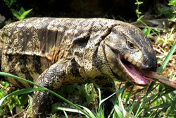 Wild tegu lizard (Tupinambis) eating a bone in its natural habitat. Both tongue and teeth are sharp and can be seen. Been shot on a rural town in Brazil.