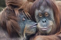 Wild tenderness among orangutan. Mother's kissing her adult daughter
