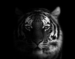 Wild tiger face black and white wallpaper  tiger portrait