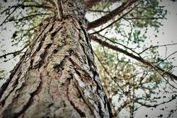 wild tree texture pine close up