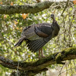 Wild Turkey Adult Hen roosting on oak tree and looking at camera. Pearson-Arastradero Preserve, Santa Clara County, California, USA.