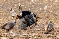 Wild turkey. Wild turkey is American native animal.