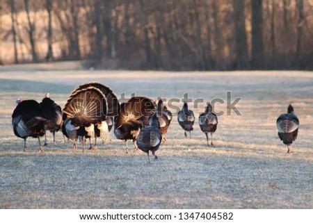 Wild Turkeys Spring