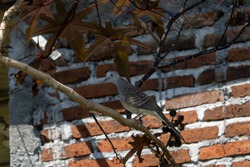 Wild turtledoves perched on the branches of the Red Jatropha tree
