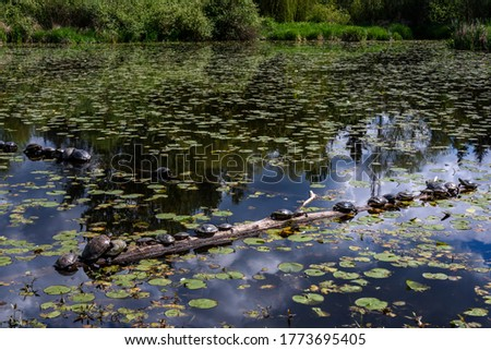 Wild turtles lined up on a log in Lake Washington, calm water and lily pads