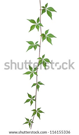 Wild vine against a white background - stock photo