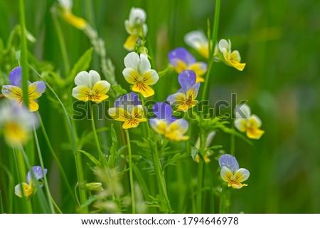 Wild violet Viola tricolor in full bloom. Flower of wild violet Viola tricolor close up. Heartsease (Viola tricolor). Сток-фото ©