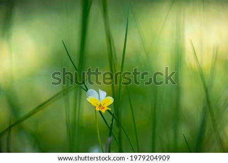 Wild violet Viola tricolor in high green may grass. A single flower of wild violet Viola tricolor macro shot. Heartsease (Viola tricolor). The beauty of nature. Сток-фото ©