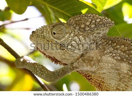 Wild warty chameleon (Furcifer verrucosus), southern Madagascar