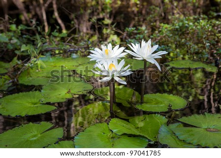 Wild water lilies in the Florida Everglades