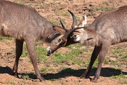 Wild Waterbuck in South Africa