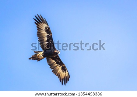 Wild Wedge-tailed Eagle Soaring, Romsey, Victoria, Australia, March 2019