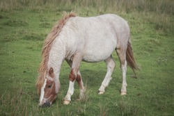 Wild Welsh Mountain Ponies in Brecon Beacon