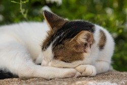 Wild white-brown Cat lying on a wall. Chora town street on the island Folegandros. Garden in the background. Cyclades, Greece.