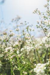 Wild white flowers in a meadow