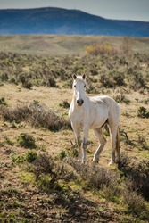 Wild white horse running free on sage prairie