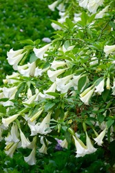 Wild white lily flower in dalat. Beautiful flowers in the garden city Dalat Vietnam.