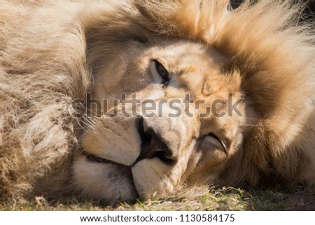 wild white lion close up pictures. hairy lion sleeping taking a nap in a natural environment.