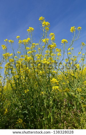 Wild white mustard plant blooming against a beautiful blue sky
