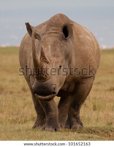 Wild white rhinoceros frontal approach