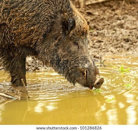 Wild wild Boar in-field
