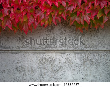 wild wine covering a concrete wall in autumn