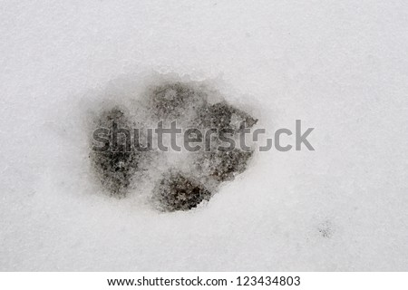 Wild wolf track in the snow, Banff National Park Alberta Canada