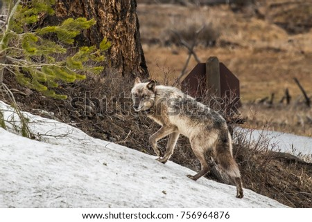 wild wolves in yellowstone 755m #756964876