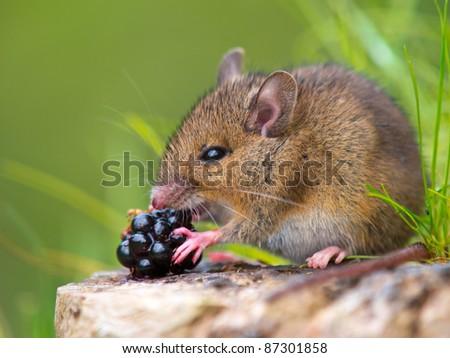 Wild wood mouse eating raspberry on log