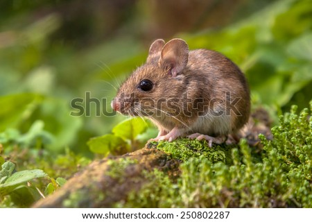 Photo of Wild Wood mouse resting on a stick on the forest floor with lush green vegetation