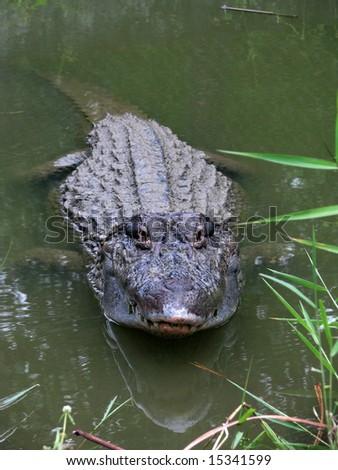 Wild yacare (cayman / crocodile) from Amazonia, Brazil