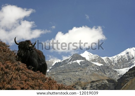 http://image.shutterstock.com/display_pic_with_logo/54561/54561,1209399309,1/stock-photo-wild-yak-in-himalayas-annapurna-nepal-12019039.jpg