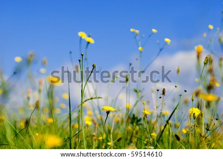 Wild yellow flowers and blue sky from low point of view, shallow deep of field