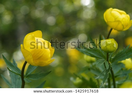 Wild yellow flowers of the European globeflower on the forest lawn close up