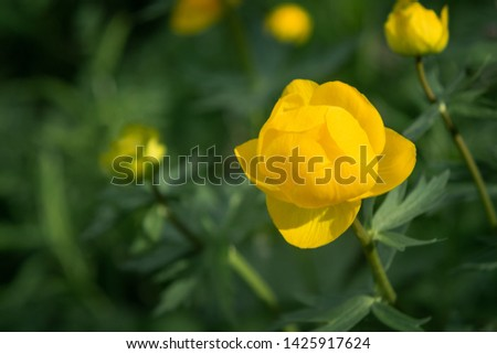 Wild yellow flowers of the European globeflower on the forest lawn close up, copy space