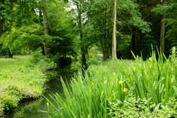 Wild yellow iris flowers growing over creek in the Vincennes forest (Paris, France).