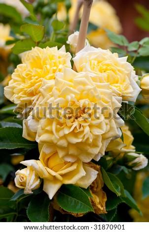 Wild yellow rose bush