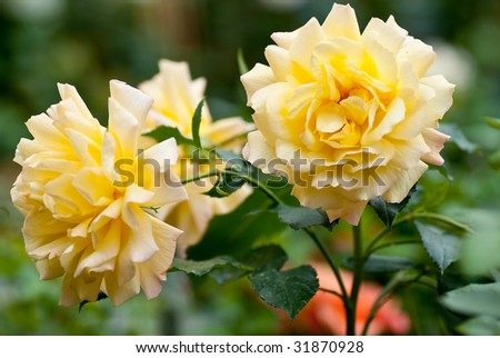 Wild yellow rose bush