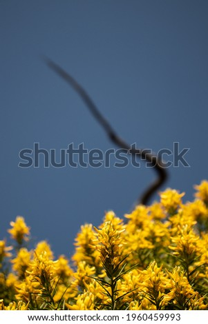 wild yelow Ulex europaeus. This plant is native to Europe very common in Algarve, Barrocal Foto stock ©