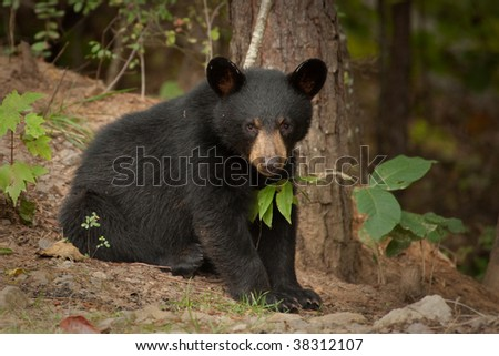 wild young black bear by a tree