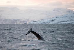Wild young orca tale waving, wild animal behavior