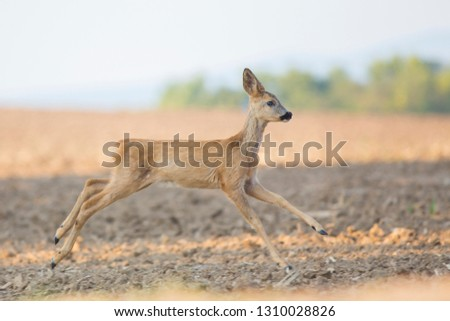 Wild young roe deer (capreolus capreolus) in wild autumn nature, in rut time, silhouette Picture, photo, wildlife photography of animals in natural environment, protect animals, hunting