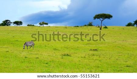 Wild zebra. Africa. Kenya. Masai Mara - stock photo